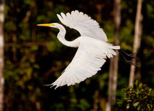 Grande Egret bianco durante il volo Immagini Stock Libere da Diritti