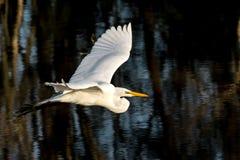 Grande egret bianco durante il volo Immagine Stock Libera da Diritti