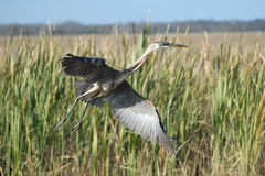 Grande Egret bianco nel lPark di Nationa dei terreni paludosi Fotografia Stock