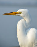 Grande Egret branco   Fotografia de Stock