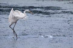 Grande Egret branco Foto de Stock
