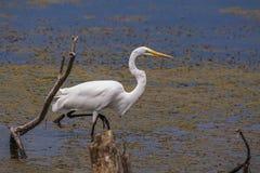 Grande Egret branco Fotos de Stock Royalty Free