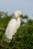 Grande Egret branco Imagens de Stock