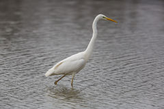 Grande Egret branco Foto de Stock Royalty Free
