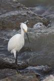 Grande Egret branco Imagem de Stock Royalty Free