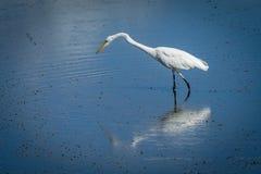 Grande Egret branco Fotos de Stock