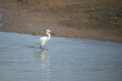 Grande Egret branco, Ardea alba Foto de Stock Royalty Free