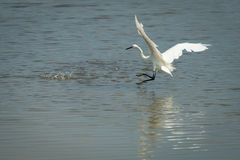 Grande Egret branco, Ardea alba Imagens de Stock