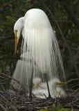 Grande egret branco com os bebês no ninho Imagens de Stock Royalty Free