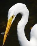 Grande Egret branco com os peixes em Bill Fotos de Stock Royalty Free