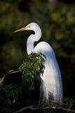 Grande Egret branco com penas da criação de animais foto de stock royalty free