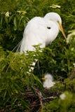 Grande Egret branco com pintainho imagem de stock royalty free