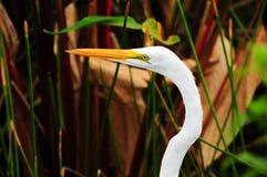 Grande egret branco do close up Imagens de Stock Royalty Free