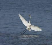 Grande Egret branco em Tendaba Fotografia de Stock Royalty Free