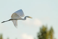 Grande Egret branco em voo Imagens de Stock Royalty Free