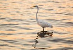 Grande egret branco no mar fora de Tampa no golfo Fotografia de Stock Royalty Free
