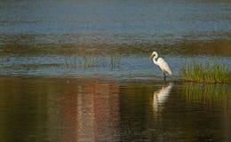 Grande Egret branco no por do sol Imagem de Stock