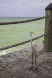Grande Egret branco no recurso de costa do golfo de Florida Imagem de Stock