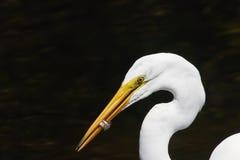Grande Egret branco que come um peixe Imagem de Stock