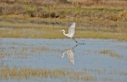 Grande Egret, catture alba del Ardea un pesce Fotografie Stock Libere da Diritti