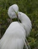 Grande egret che preening Immagini Stock Libere da Diritti