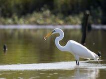 Grande Egret con i pesci 2 fotografia stock