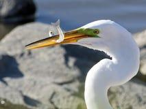 Grande egret con i pesci Fotografia Stock Libera da Diritti