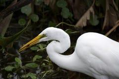 Grande egret con i pesci Fotografie Stock Libere da Diritti