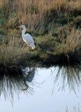 Grande Egret con la riflessione Immagine Stock