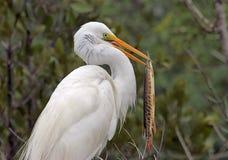 Grande Egret con un pesce del luccio Fotografie Stock Libere da Diritti