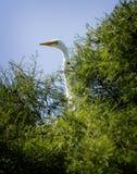 Grande Egret contra um céu azul 2016 Imagem de Stock Royalty Free