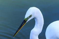 Grande Egret durante a estação de acoplamento Imagem de Stock