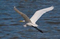Grande Egret durante il volo Fotografia Stock Libera da Diritti