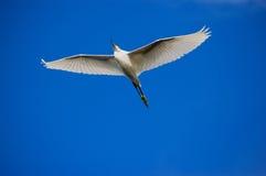 Grande Egret durante il volo fotografie stock libere da diritti