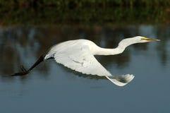 Grande Egret durante il volo Immagine Stock