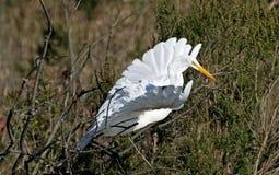Grande Egret durante il volo Fotografia Stock