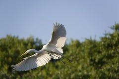 Grande Egret durante il volo Fotografie Stock