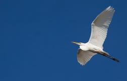 Grande Egret durante il volo contro cielo blu Fotografia Stock