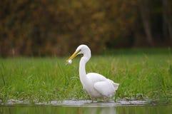Grande egret e sua rapina Imagens de Stock