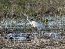 Grande Egret (Egretta alba) Fotos de Stock