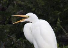 Grande Egret em uma copa de árvore, close up Fotos de Stock Royalty Free