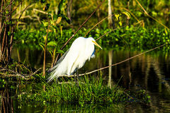 Grande Egret em Wakodahatchee foto de stock royalty free