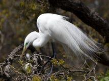 Grande Egret na árvore Fotografia de Stock