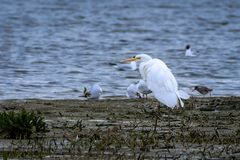 Grande egret na estação nupcial imagens de stock
