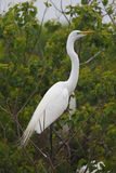 Grande Egret na plumagem da criação de animais Fotografia de Stock
