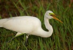 Grande Egret nei terreni paludosi Immagine Stock