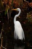 Grande Egret nella palude Fotografia Stock