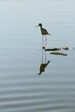 Grande egret no lago ana Sagar Foto de Stock Royalty Free