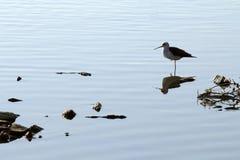 Grande egret no lago ana Sagar Foto de Stock
