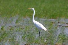 Grande Egret no pântano Imagem de Stock Royalty Free